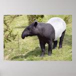 Tapir malayo en hierba poster