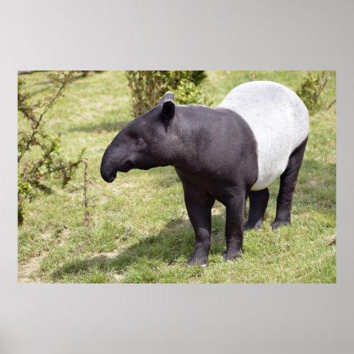 Tapir malayo en hierba póster