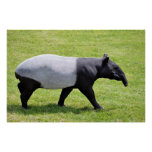 Tapir malayo que camina en hierba poster