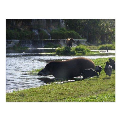 Tapir que toma una inmersión en el río postales