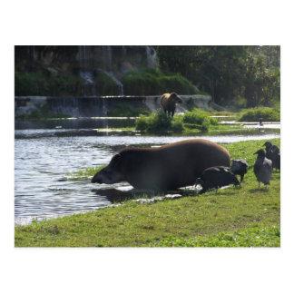 Tapir Taking A Dip In The River Postcards