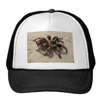 Tarantula brachypelma red knee poisonous hats