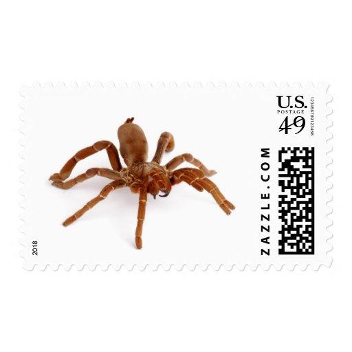 Tarantula. de rey Baboon Sellos