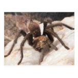 Tarantula Postcard