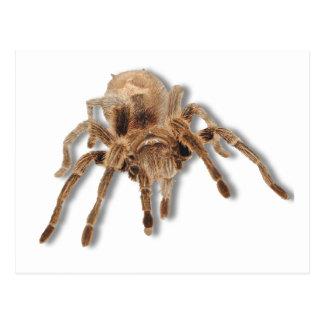 Tarantula spider postcard