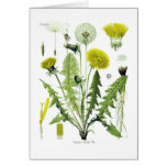 Taraxacum officinale (Dandelion) Greeting Card