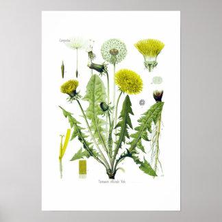 Taraxacum officinale (Dandelion) Poster
