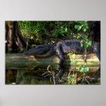 Tarde del cocodrilo, marismas, la Florida Poster