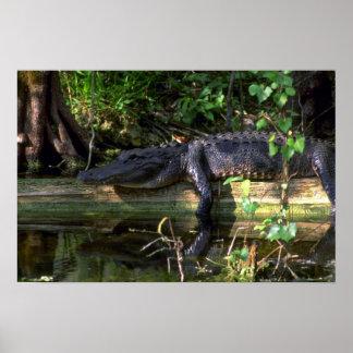 Tarde del cocodrilo, marismas, la Florida Póster