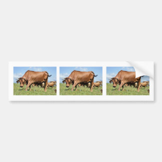 Tarine cow in the French Alps Bumper Sticker
