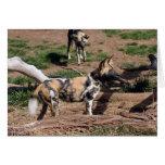 Tarjeta africana del perro salvaje 008