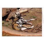 Tarjeta africana del perro salvaje 019