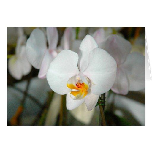 Tarjeta blanca de la orquídea de polilla
