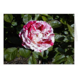 Tarjeta color de rosa rayada roja y blanca