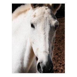 Tarjeta de felicitación del caballo de Lipizzaner Tarjeta Postal