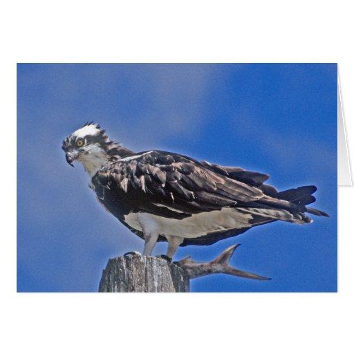 Tarjeta de felicitación del pájaro de Osprey