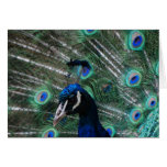 Tarjeta de felicitación del pájaro del Peafowl