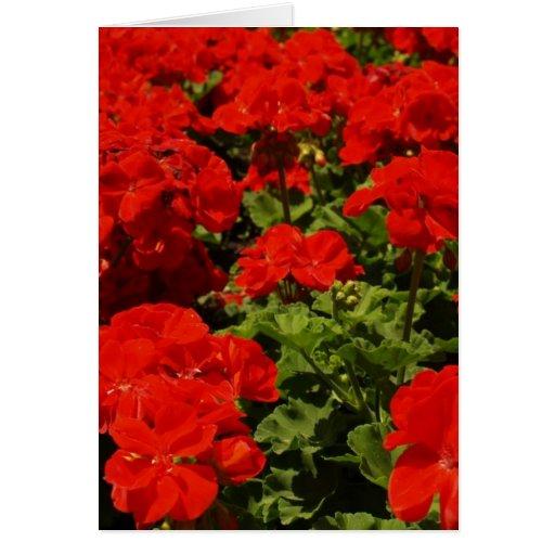 Tarjeta de felicitación roja de los geranios