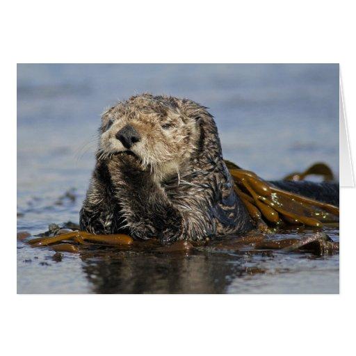 Tarjeta de la nutria de mar de California - foto d