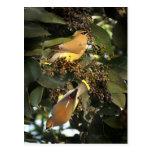 Tarjeta de los pájaros del Waxwing de cedro Tarjetas Postales