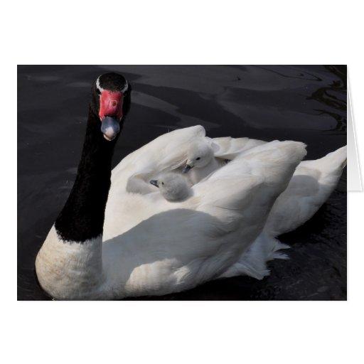 Tarjeta de nota: Cisne de Blackneck con los pollos