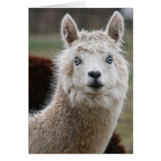 Tarjeta de ojos azules de la alpaca