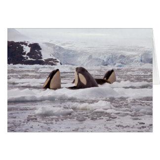 Tarjeta de Spyhopping de las orcas