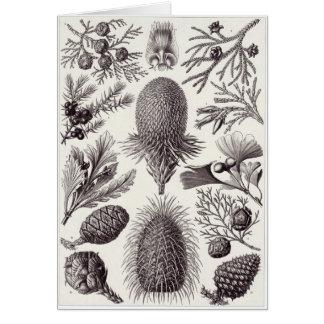 Tarjeta del arte de Ernst Haeckel: Coniferae