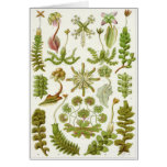 Tarjeta del arte de Ernst Haeckel: Hepáticas