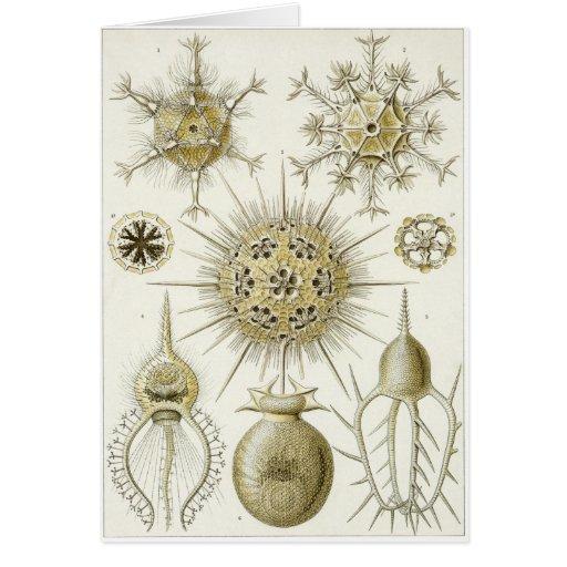 Tarjeta del arte de Ernst Haeckel: Phaeodaria (Pha