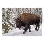 Tarjeta del bisonte americano (bisonte del bisonte