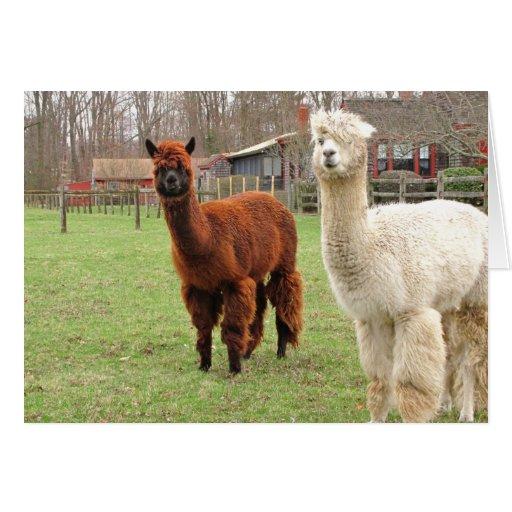 Tarjeta del ~ de las alpacas de Wolly