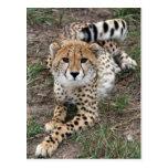 Tarjeta del guepardo Info Postales