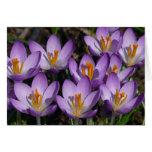 Tarjeta en blanco de las azafranes púrpuras solead