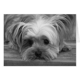 Tarjeta en blanco del perro de perrito de Yorkshir