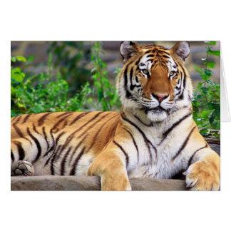Tarjeta en blanco del tigre siberiano