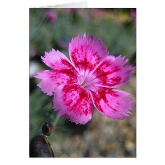 Tarjeta en blanco, flor de Dainthus