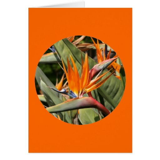 """Tarjeta, """"flores de la ave del paraíso en círculo  tarjeta de felicitación"""