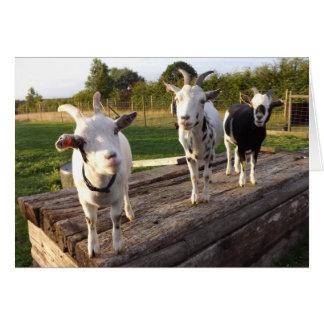 Tarjeta fresca de las cabras
