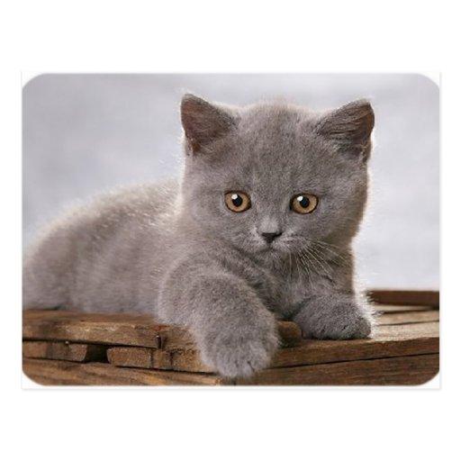tarjeta gris linda del gatito postales
