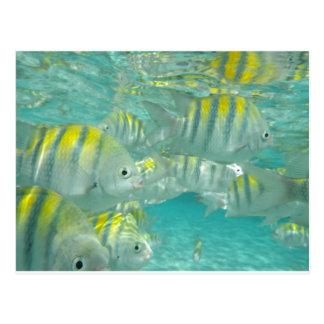 Tarjeta jamaicana de los pescados tarjetas postales