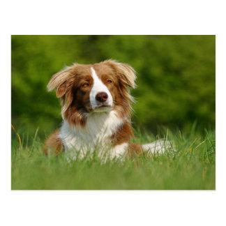 Tarjeta postal, perros Border Collie Portrait/