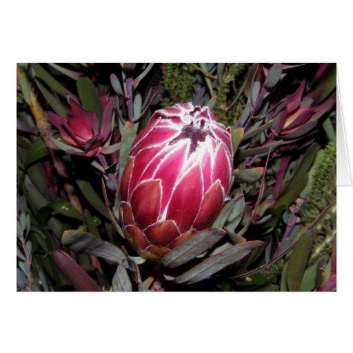 Tarjeta rosada de la flor del Protea