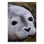 Tarjetas de felicitación dulces de la cría de foca