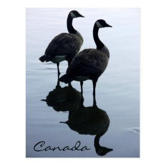 Tarjetas de los gansos de Canadá de las postales d