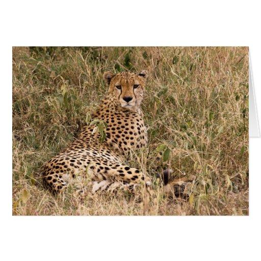 Tarjetas del guepardo