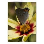 Tarjetas grises de la mariposa de Hairstreak