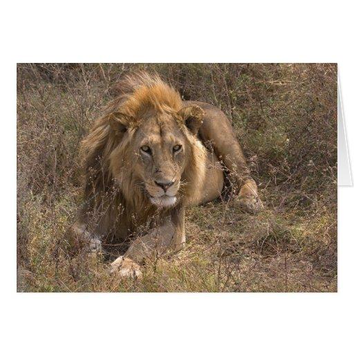 Tarjetas masculinas del león