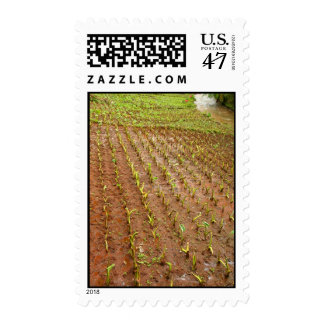 Taro field postage