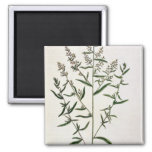 Tarragon, plate 116 from 'A Curious Herbal', publi 2 Inch Square Magnet